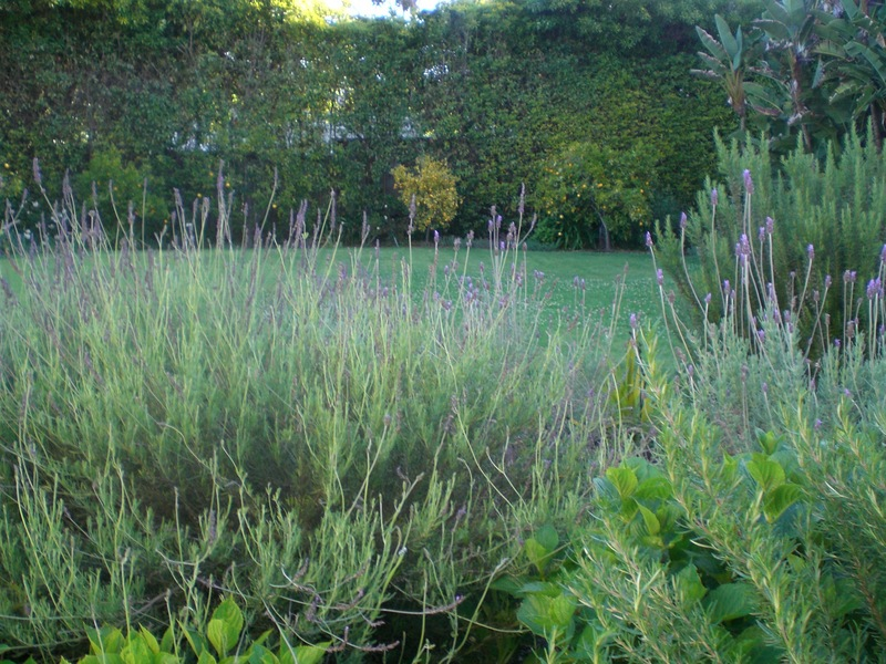 French lavender in the garden